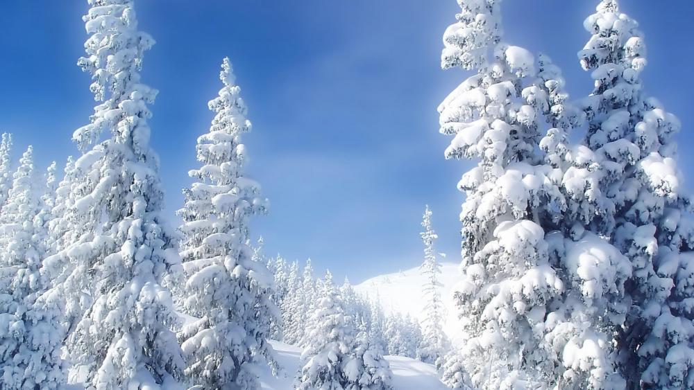 Snowy fir trees ❄️❄️ wallpaper