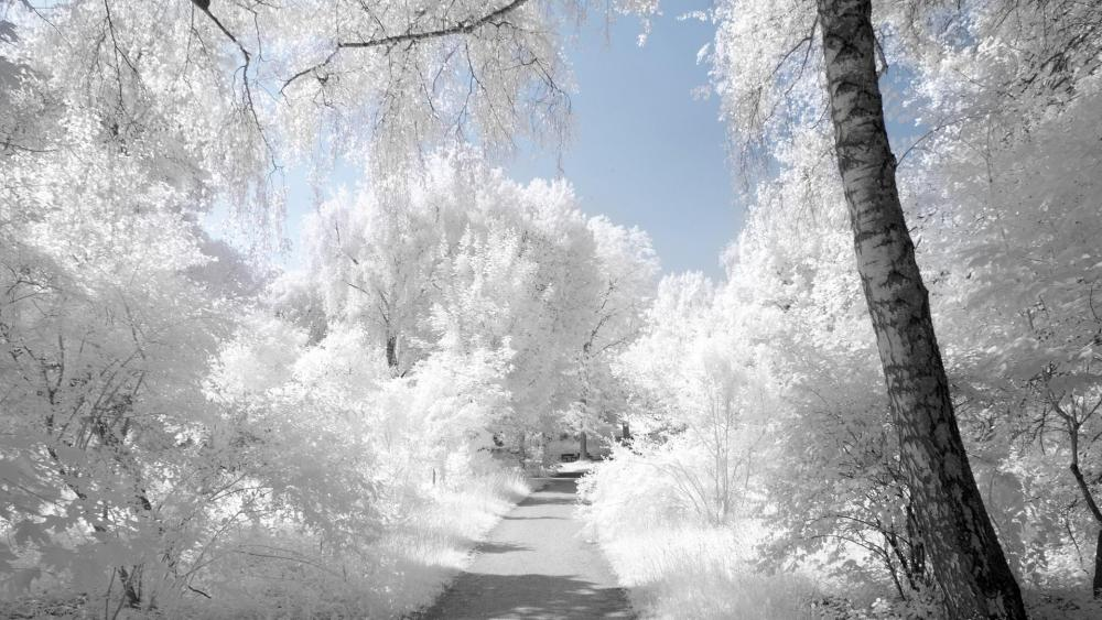 Little path with snow white trees wallpaper