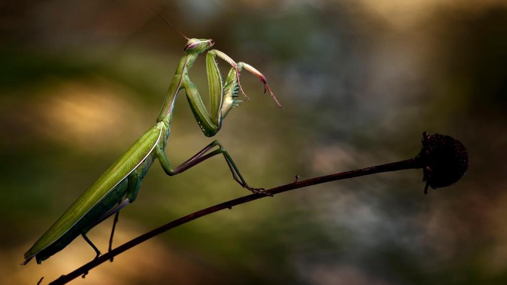 Praying Mantis wallpaper