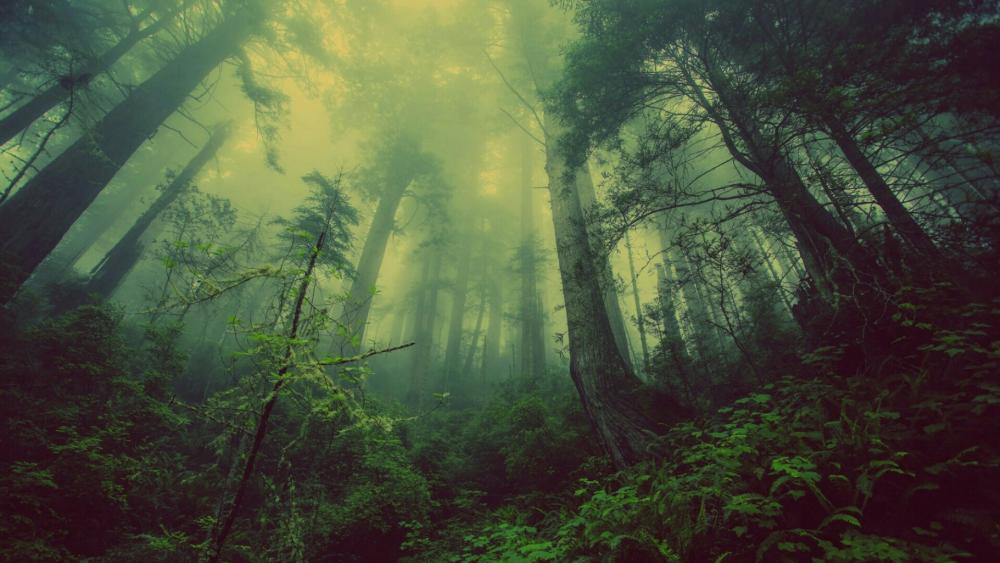 Green misty forest wallpaper