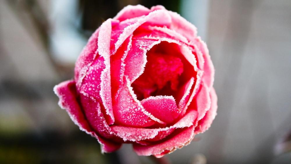 Frozen red rose ❄️❄️ wallpaper
