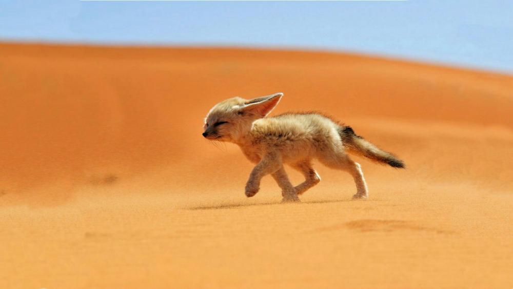 Fennec fox against the wind wallpaper
