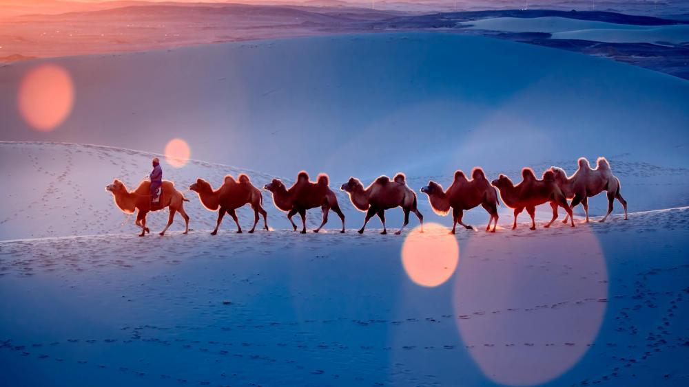 Desert camel team wallpaper