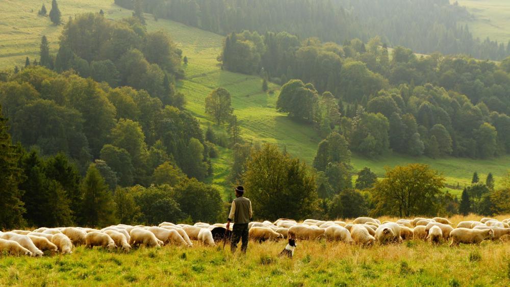 Sheep shepherd wallpaper