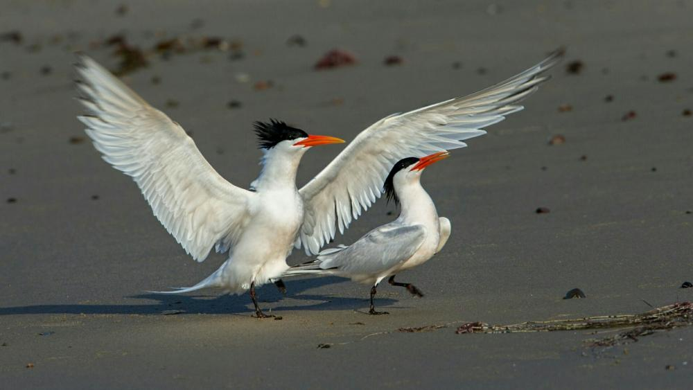 Common tern wallpaper