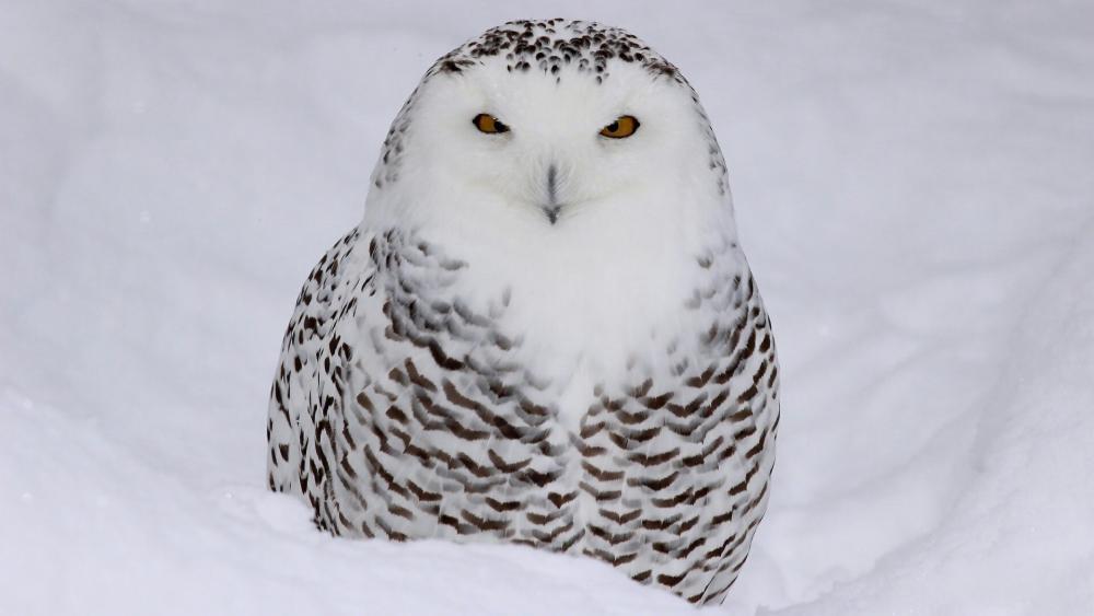 Snowy owl (Bubo scandiacus) wallpaper