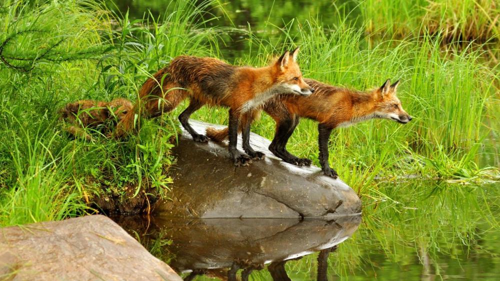Fox family wallpaper