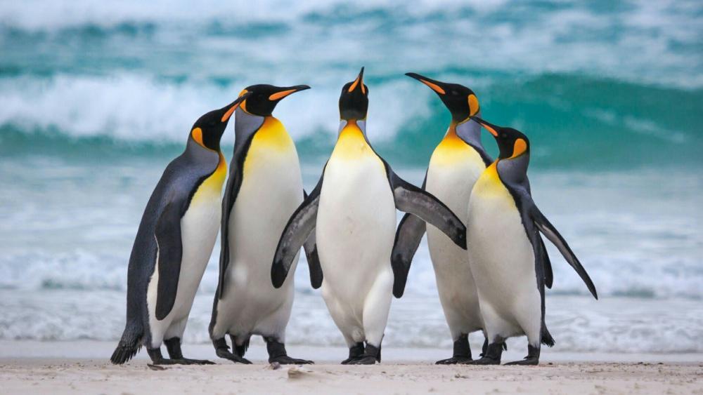 Group of king penguin wallpaper