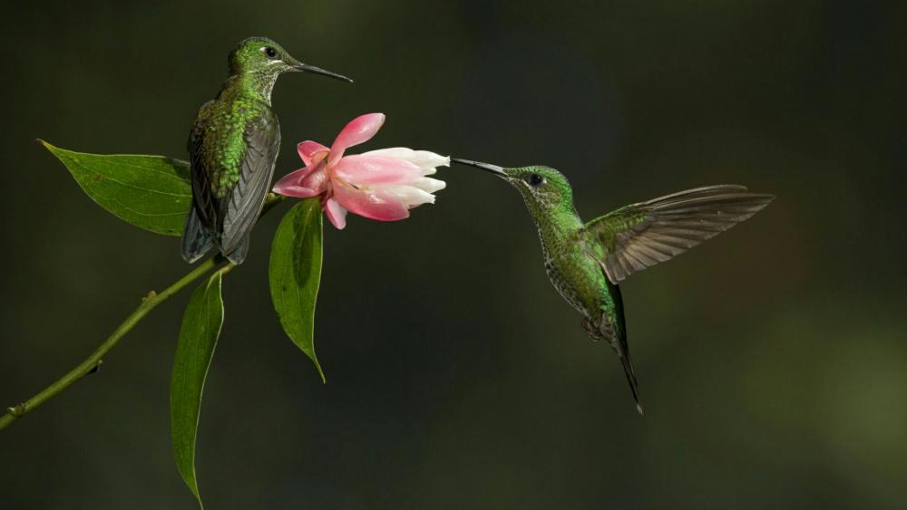 Green hummingbird wallpaper