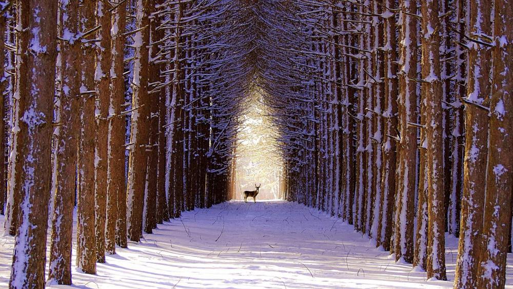 Spruce winter alley wallpaper