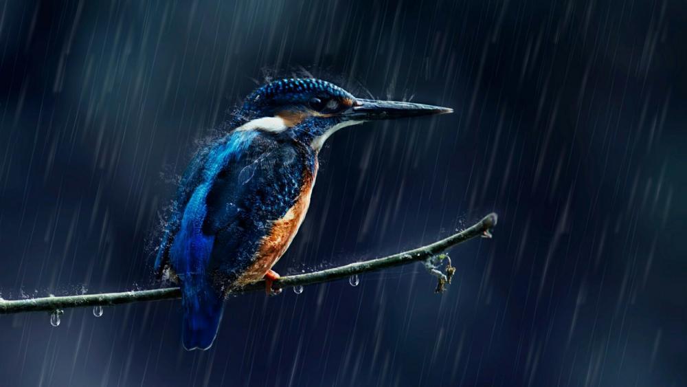 Kingfisher bird in the rain wallpaper