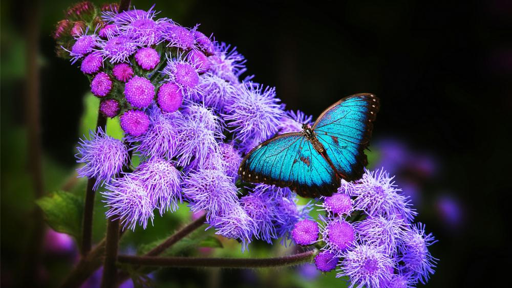 Blue morpho butterfly wallpaper