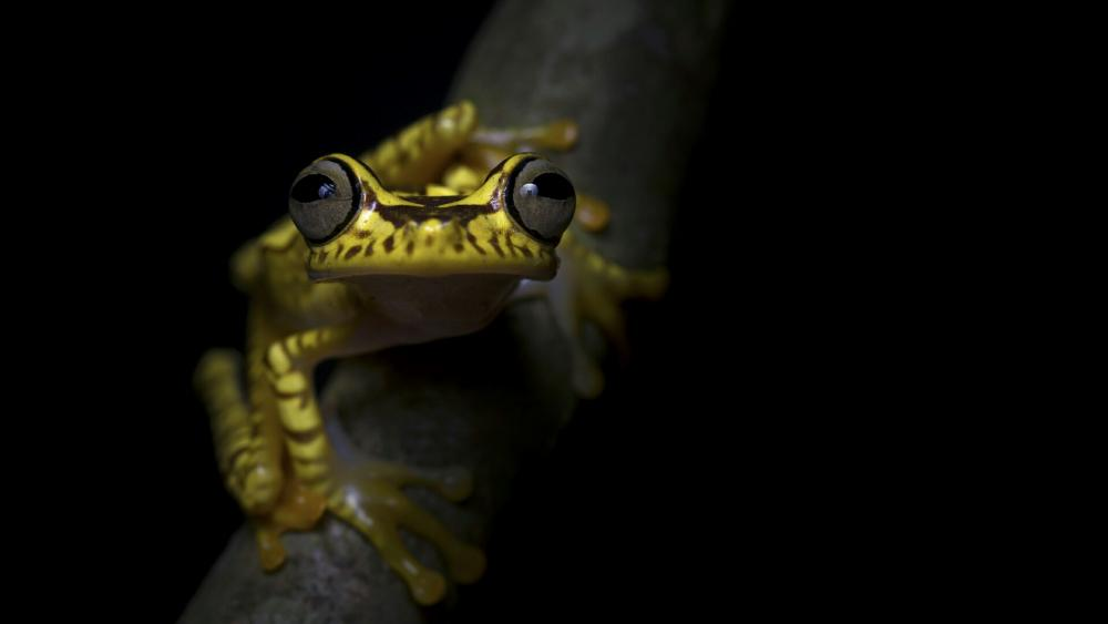 Imbabura tree frog wallpaper