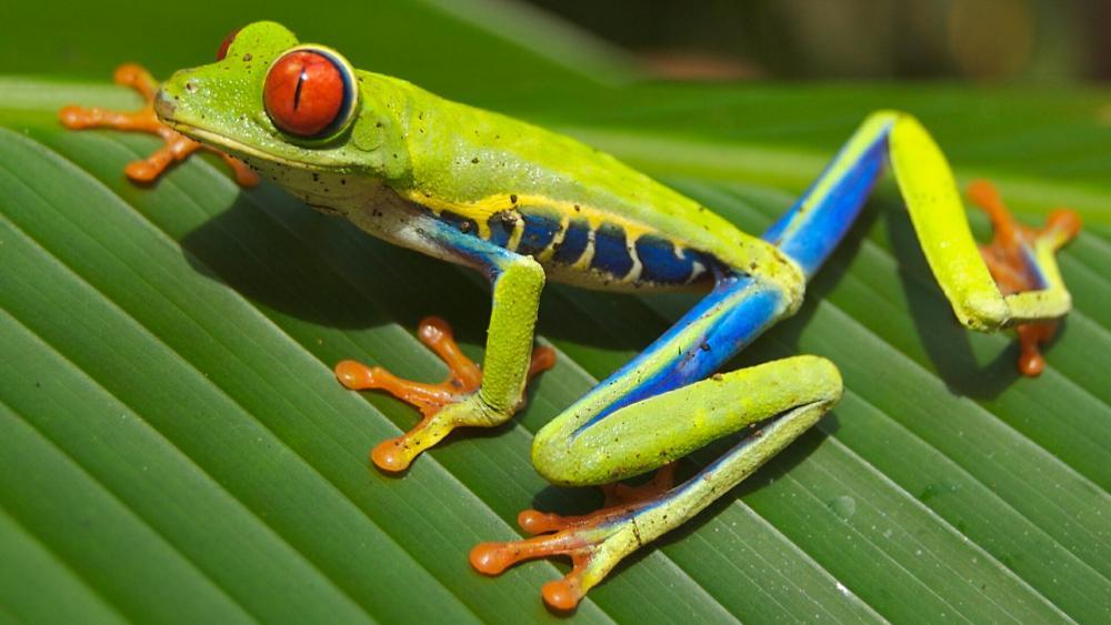 Red Eyed Tree Frog (Agalychnis callidryas) wallpaper