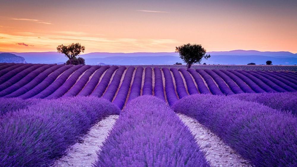 Provence lavender field wallpaper