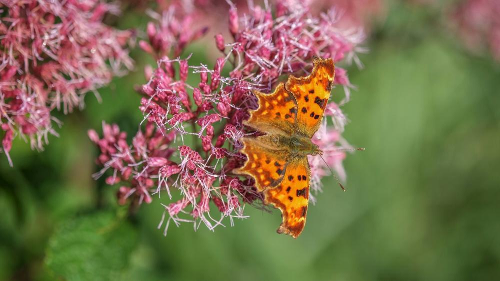 Butterfly on pink flower  wallpaper