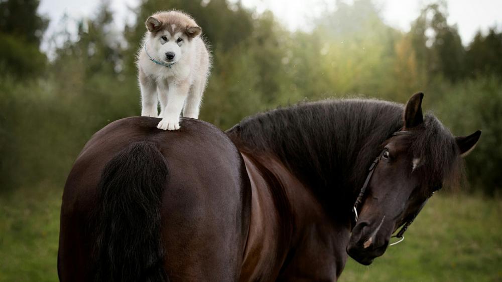 Husky puppy horse ride wallpaper