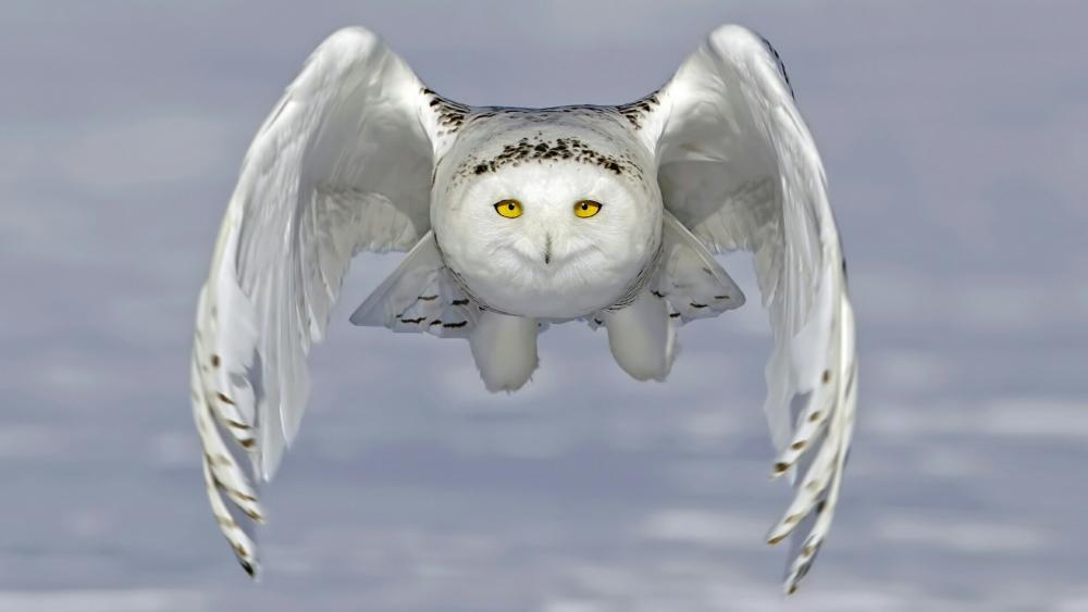 Flying Snowy owl wallpaper