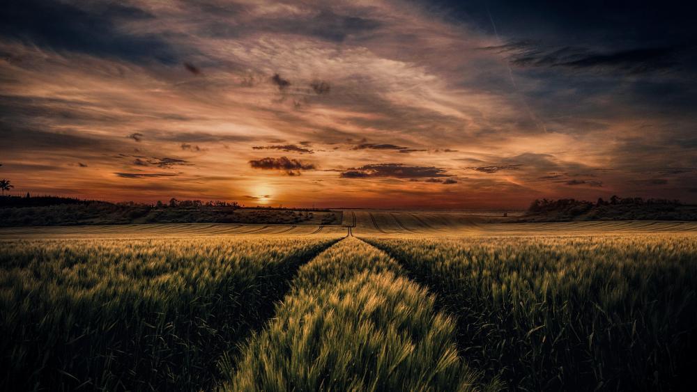 Wheat field in sunset wallpaper