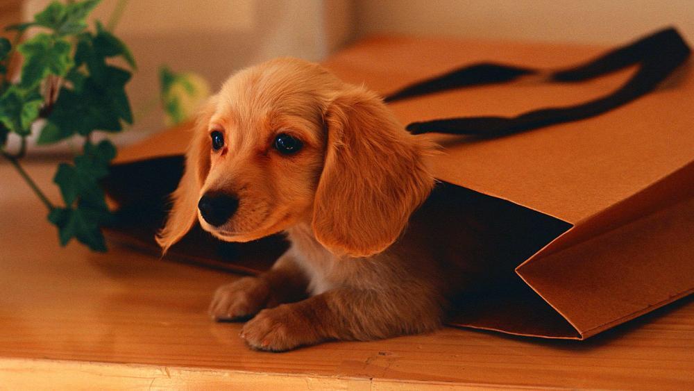 Cute little dog wallpaper