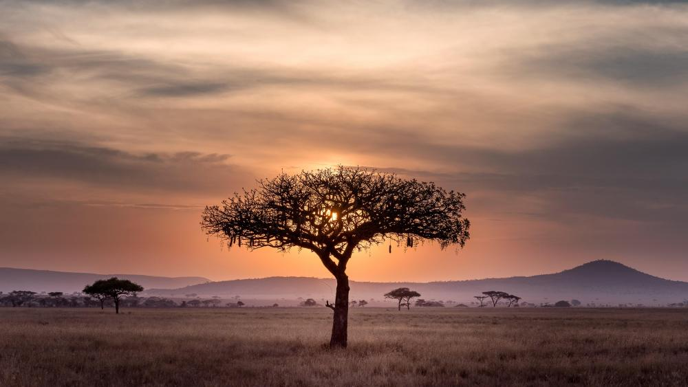 Lonely tree in the savanna wallpaper