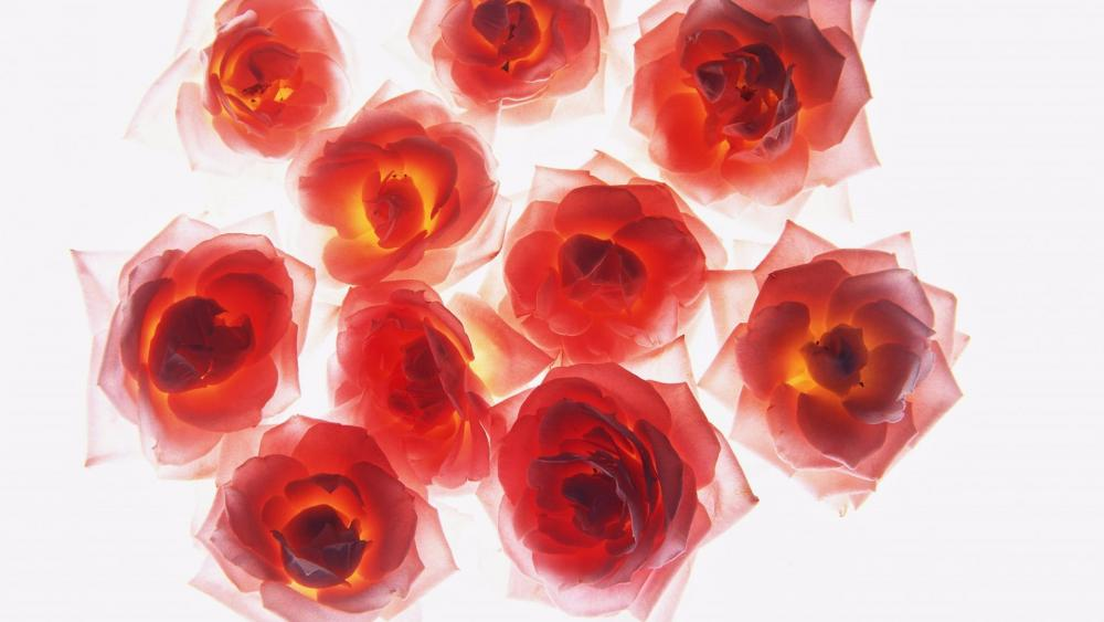 Fire red roses wallpaper