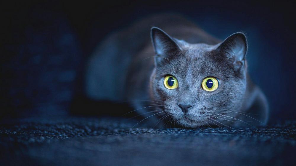 Blue-grey korat cat wallpaper