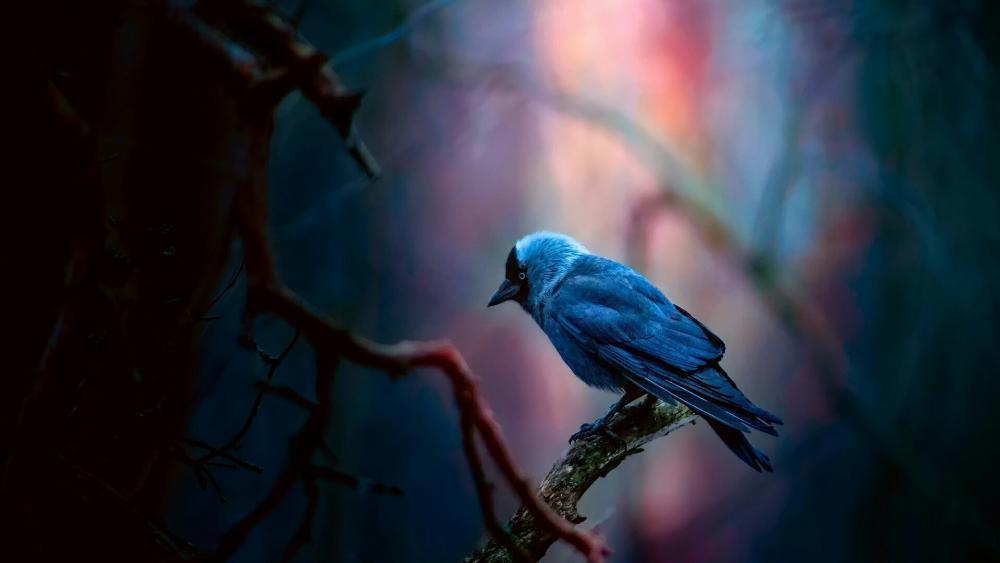 Jackdaw bird wallpaper