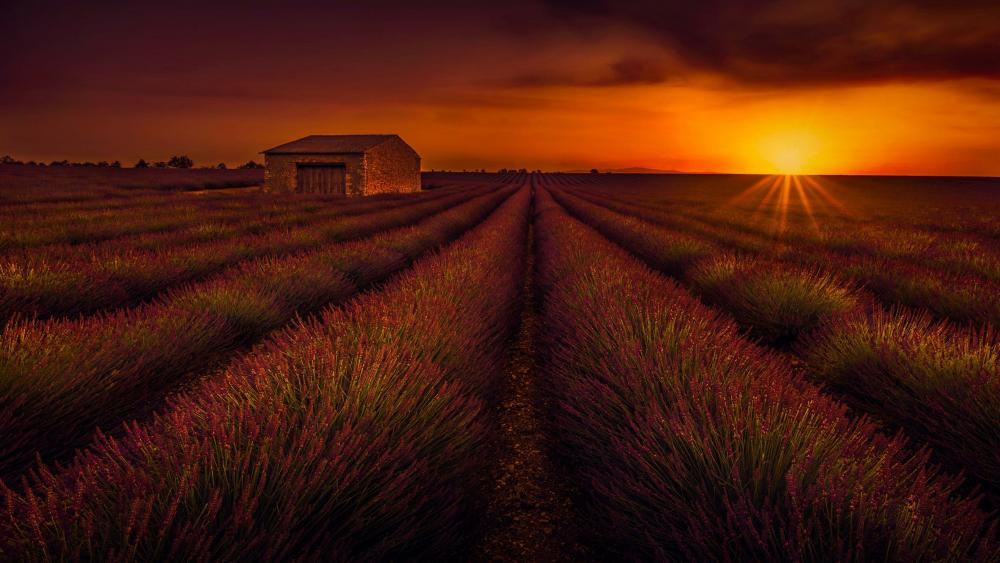 Lavender field in the sunset wallpaper