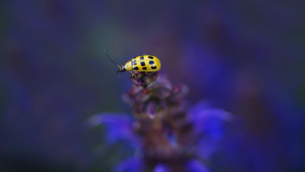 Yellow Ladybug wallpaper