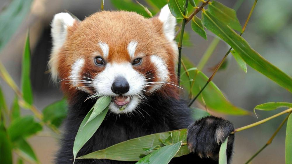 Cute Red Panda eating bamboo wallpaper
