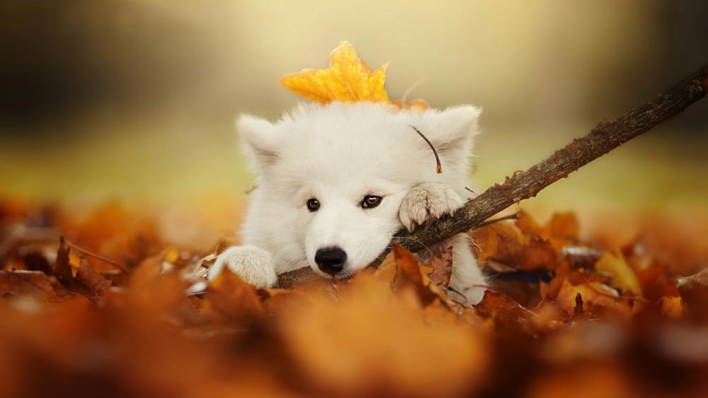 Samoyed dog wallpaper