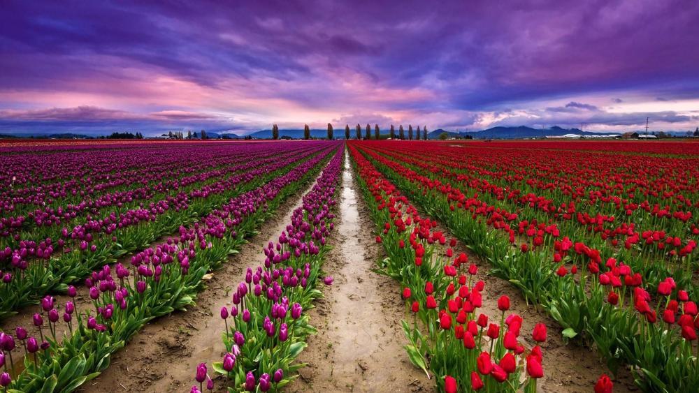 Keukenhof tulip farm wallpaper
