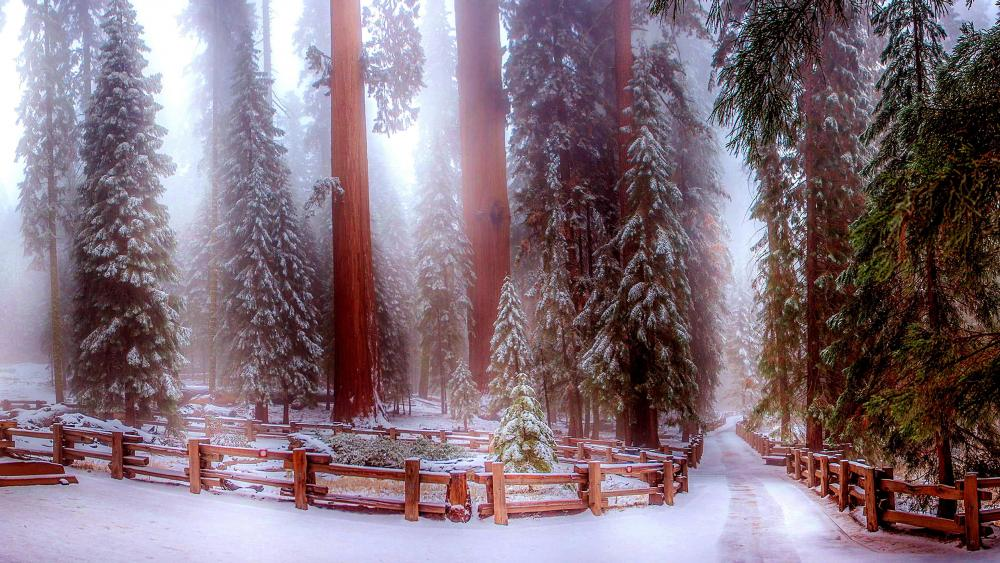 Sequoia National Park in winter wallpaper