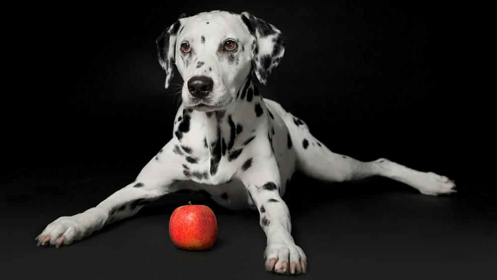Dalmatian dog with an apple on balck background wallpaper