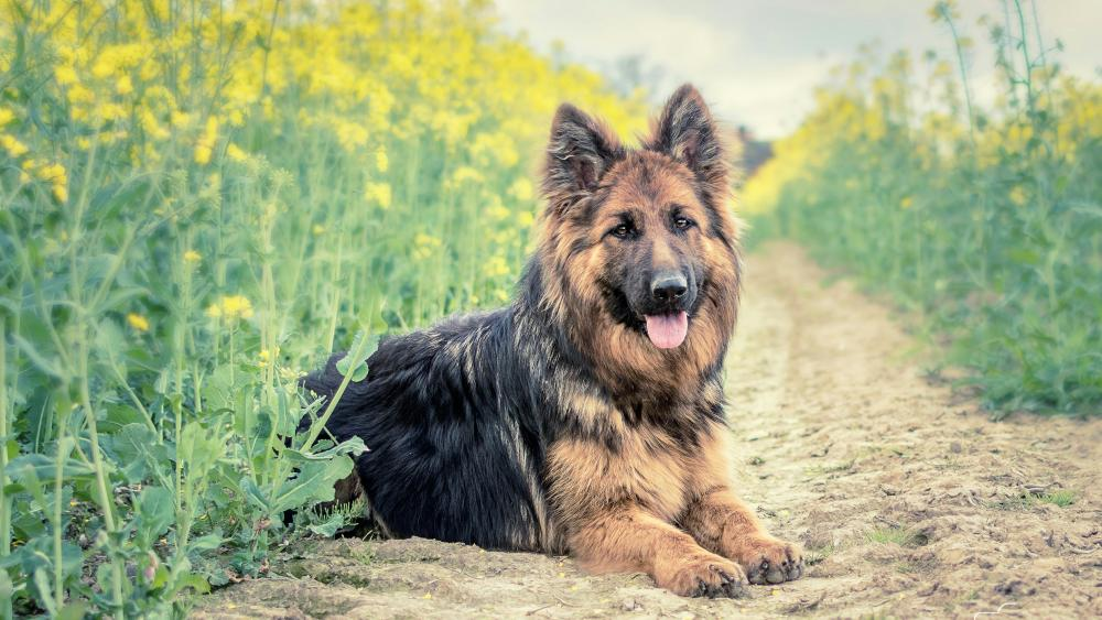 Old German Shepherd Dog wallpaper