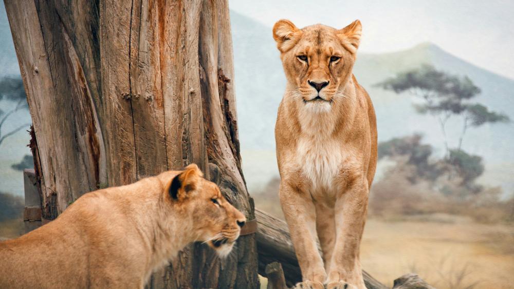 Lioness wallpaper