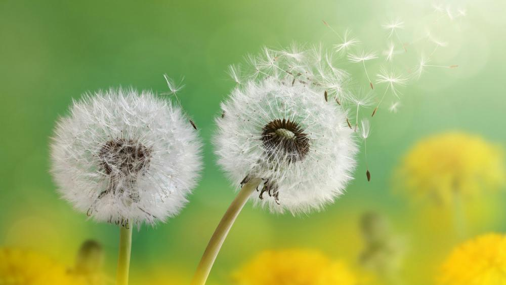 Flying dandelion seeds - Macro photography wallpaper