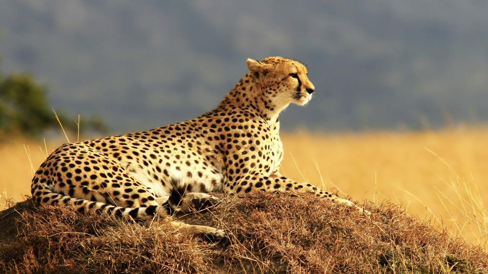 Cheetah in the Savanna wallpaper