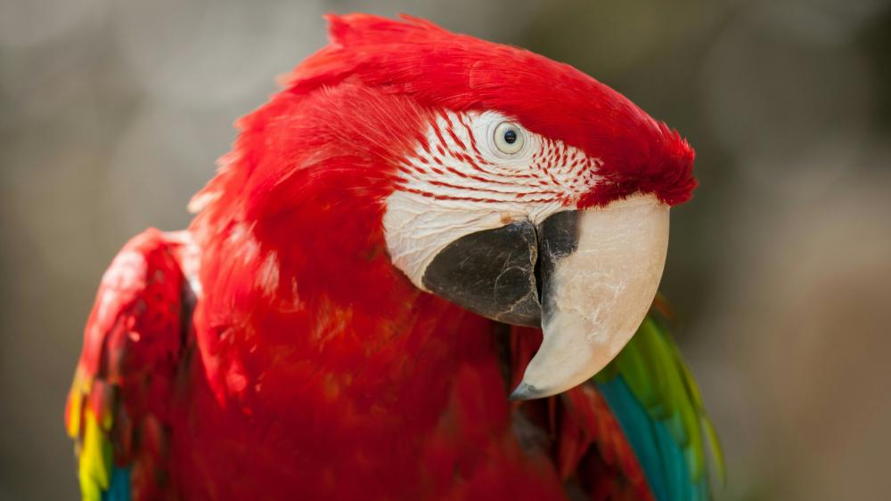 Red and green Macaw parrot wallpaper