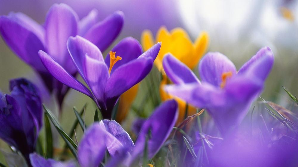 Purple and yellow crocus flowers wallpaper