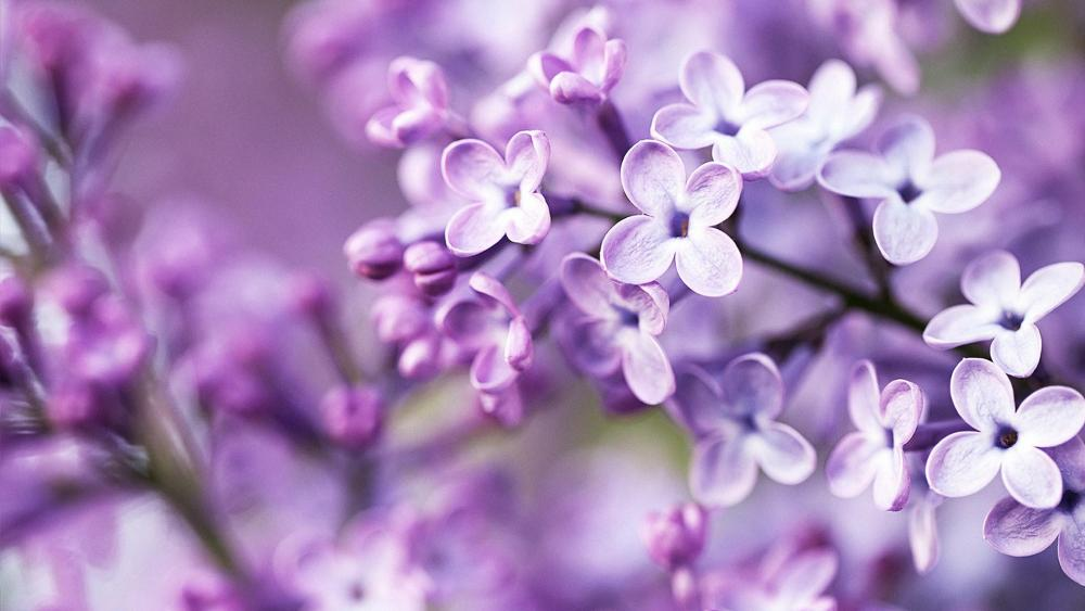 Flowering lilac wallpaper