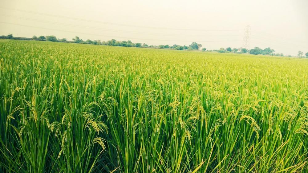 Green fields in India wallpaper