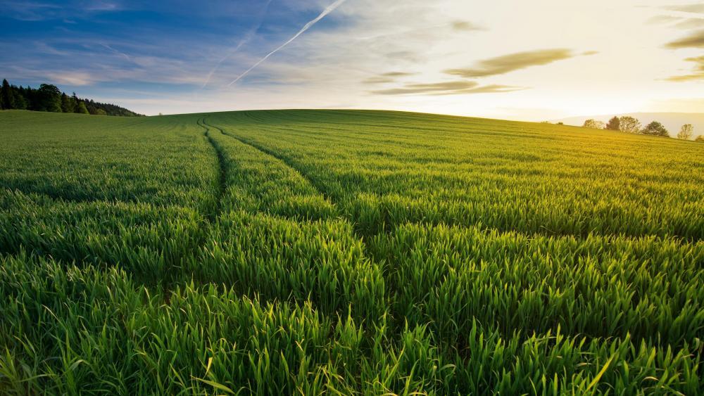 Summer green field wallpaper