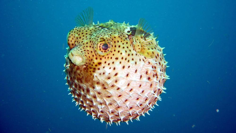 Pufferfish - Underwater Photography wallpaper
