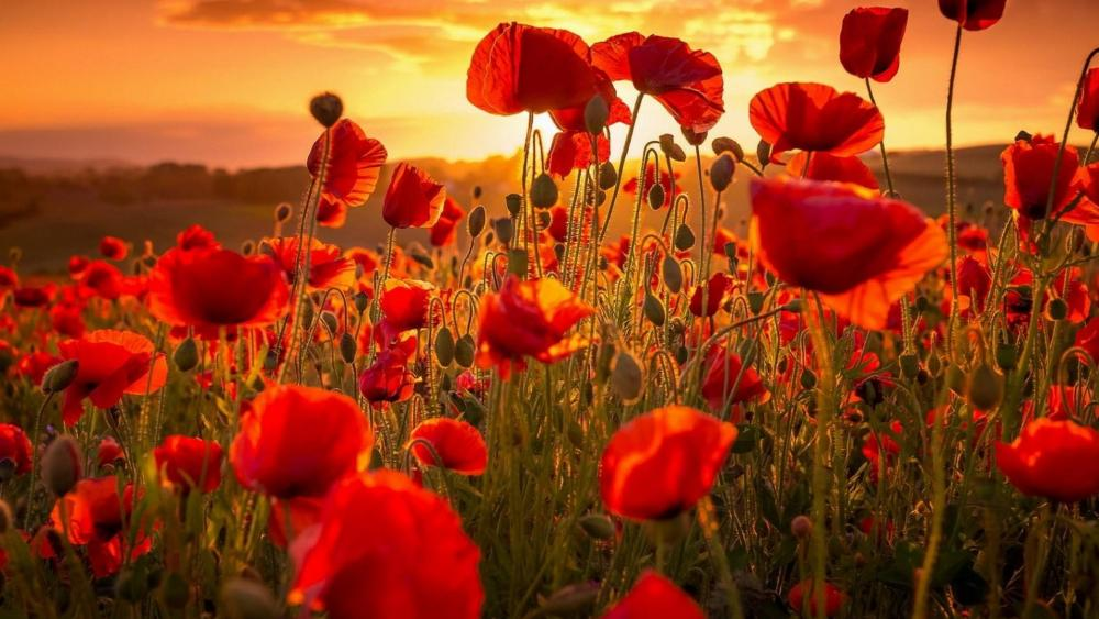 Poppy field in the summer sunset wallpaper