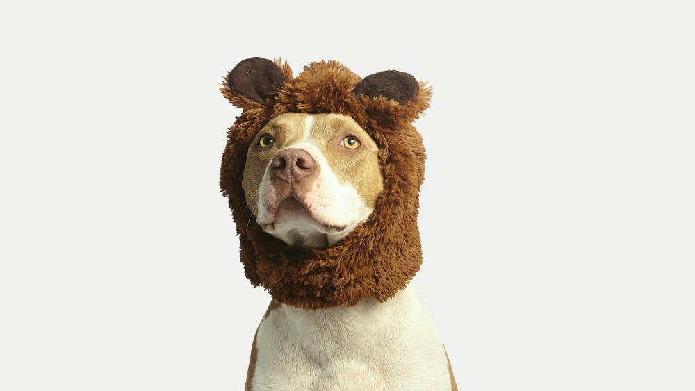 Pit Bull Terrier in a bear cap wallpaper