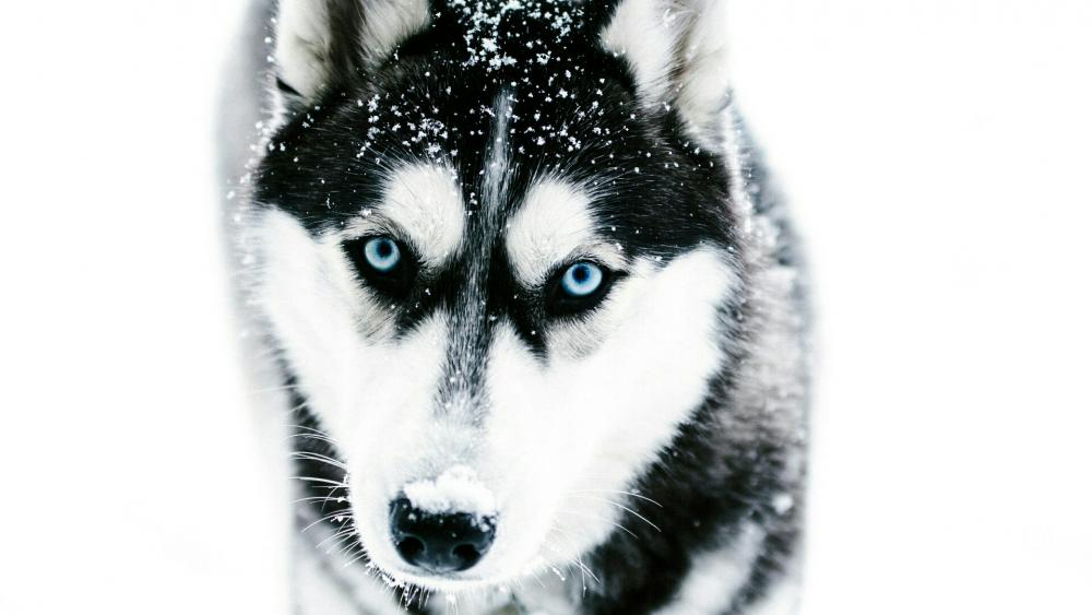 Husky with blue eyes in the snowfall wallpaper
