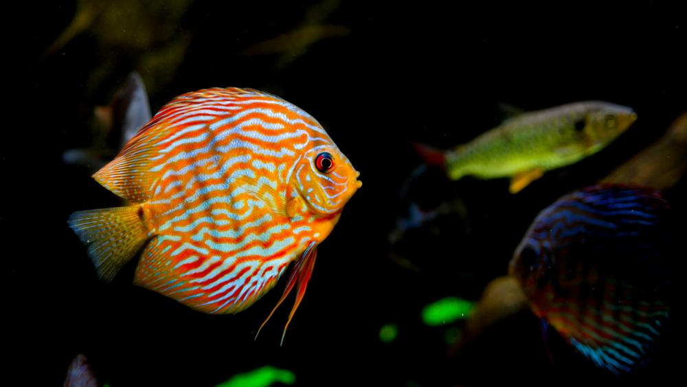 Tropical fishes in the aquarium wallpaper
