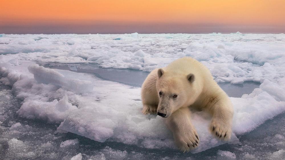 Polar bear in Svalbard wallpaper